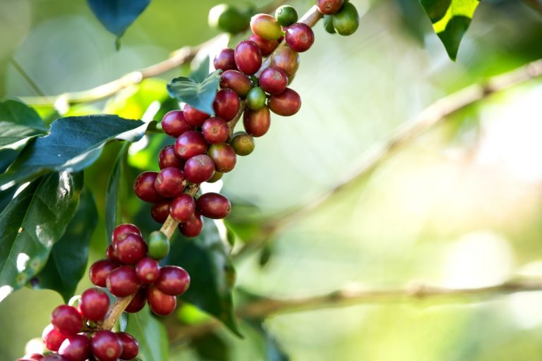 How To Plant And Grow Coffee At Home