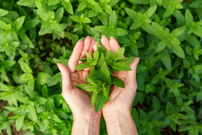 Interesting Ways You Should Know About How to Dry Mint for Tea
